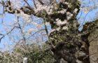 一関市千厩町の種蒔桜